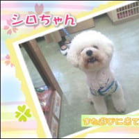 可愛いアフロ犬♪シロちゃん☆