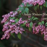 ミモザの季節 花粉の季節