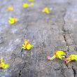 茅野市長円寺さんの『センダンバノボダイジュ』の花