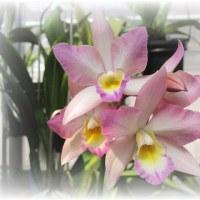 6属間交配のラン Iwanagara Apple Blossum