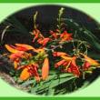 7/12(水)クロコスミア 咲く
