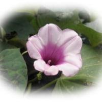 さつま芋の花
