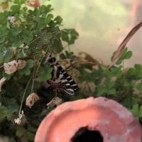 今年初めてのギフチョウが羽化しました。