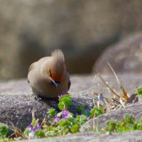 ムラサキツユクサ 紫露草 ツユクサ科 50cmの高さに紫や白色の花が咲きます。今日の野鳥:キレンジャク