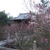 志度寺の梅