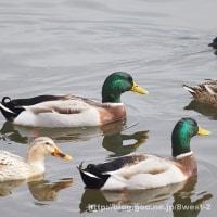 諏訪湖の鳥