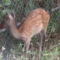 鹿捕獲用の罠に鹿が入っていました。  2017/6/27