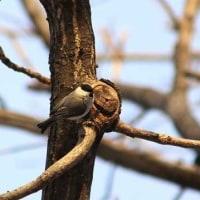 鳥撮り日記ーアカゲラ・コガラ