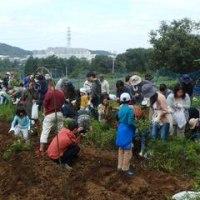 2016年10月16日(日) 落花生の収穫(1)