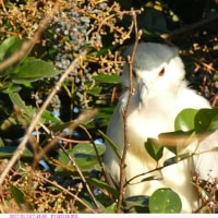 ゴイサギ〈五位鷺〉とホシゴイ〈ゴイサギの幼鳥〉