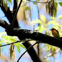 都市公園の野鳥む