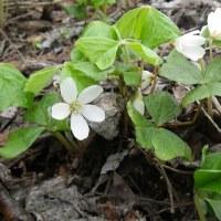 山菜四種と山の花