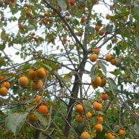 自然農 畑 秋のたのしみ