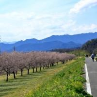2017地蔵院の枝垂れ桜