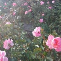 カントリーパーク 秋のバラ祭り