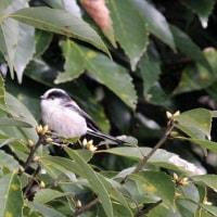 1/18探鳥記録写真(遠賀町某池の鳥たち:エナガ、モズ、ヨシガモ他)