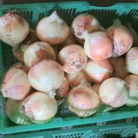 早生の玉ねぎの収穫
