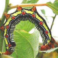 カラムシに幼虫