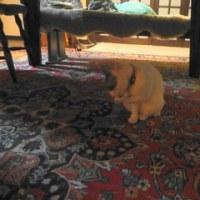 飼い猫がモモンガを捕まえてきた