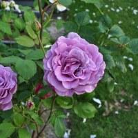 青紫色の薔薇