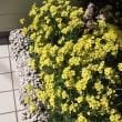 園芸・ガーデニング  3月の玄関  ~オキザリス~ セルヌア&パーシーカラー