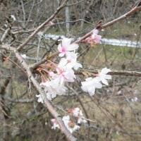 11月になっても、10月桜が咲いています