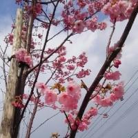 高松店の隣りの通りに咲いています ♪