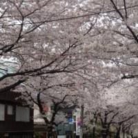 まだまだ桜っ