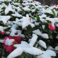 風雪に耐え越冬中のウラギンシジミ