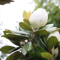 タイサンボク開花