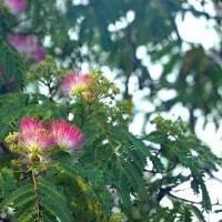 合歓の花が咲きました。きょうの一句「山法師」