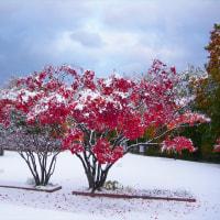 「初雪と紅葉」を撮りました !