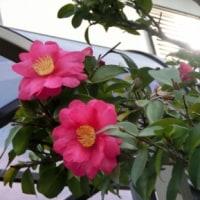 赤いさざんかの花