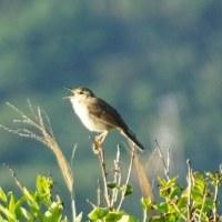 三宅島へ鳥見して来たよ~。