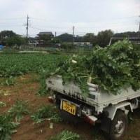 追加で収穫