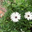 本日の庭の花、オステオスペルマム