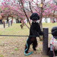 大坂城の梅林とロング散歩