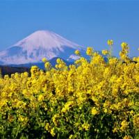 22/Jan 朝焼けの海と富士山と菜の花とカワセミ