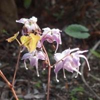 庭の花:バイモユリ、イカリソウ