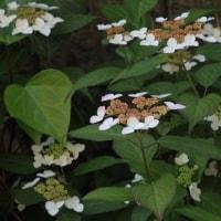 ヤマアジサイの「ニジ」(虹)、カシワバアジサイが咲き始めました。