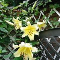 黄色のカサブランカ