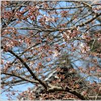 妙本寺のソメイヨシノ&カイドウ開花