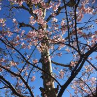 早いです・桜の花が咲き始めました❀