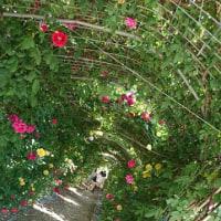 やっぱり癒されうっとりする千財農園の薔薇