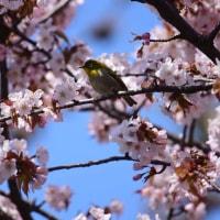 近所の公園で桜撮影 ゲストが!