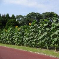 京都府立植物園 その1 向日葵