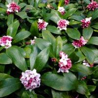 ジンチョウゲの花