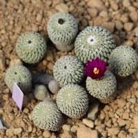 乾燥地植物