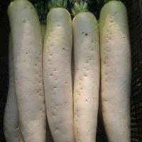ブロッコリー、大根収穫