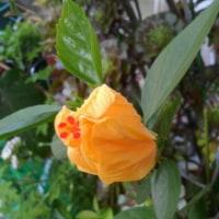 廻るもの 季節の花 ハイビスカス